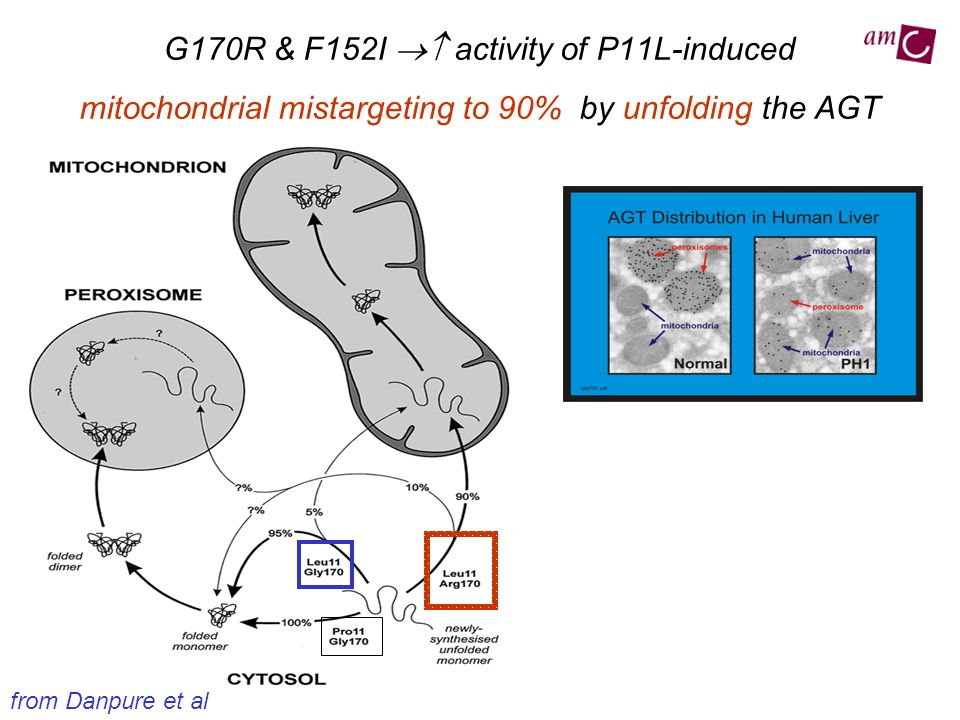 G170R & F152I  activity of P11L-induced mitochondrial mistargeting to 90% by unfolding the AGT