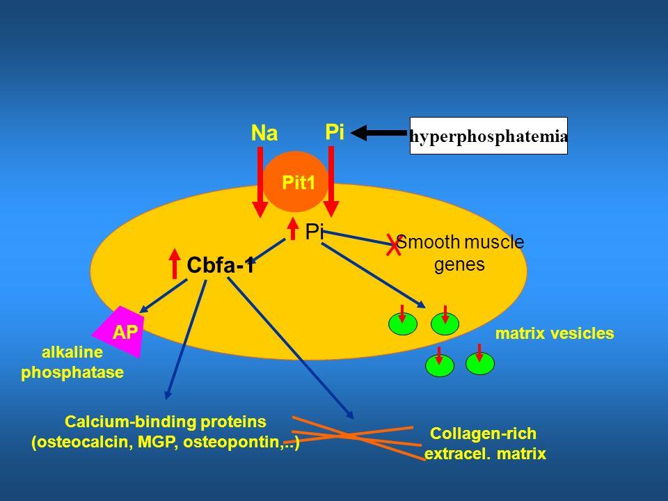 Calcium-binding proteins (osteocalcin, MGP, osteopontin,..)