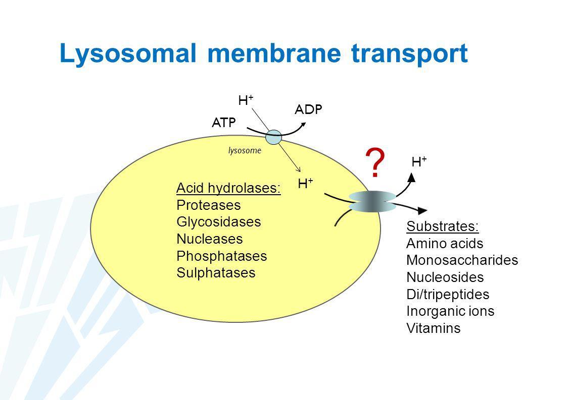 Lysosomal membrane transport