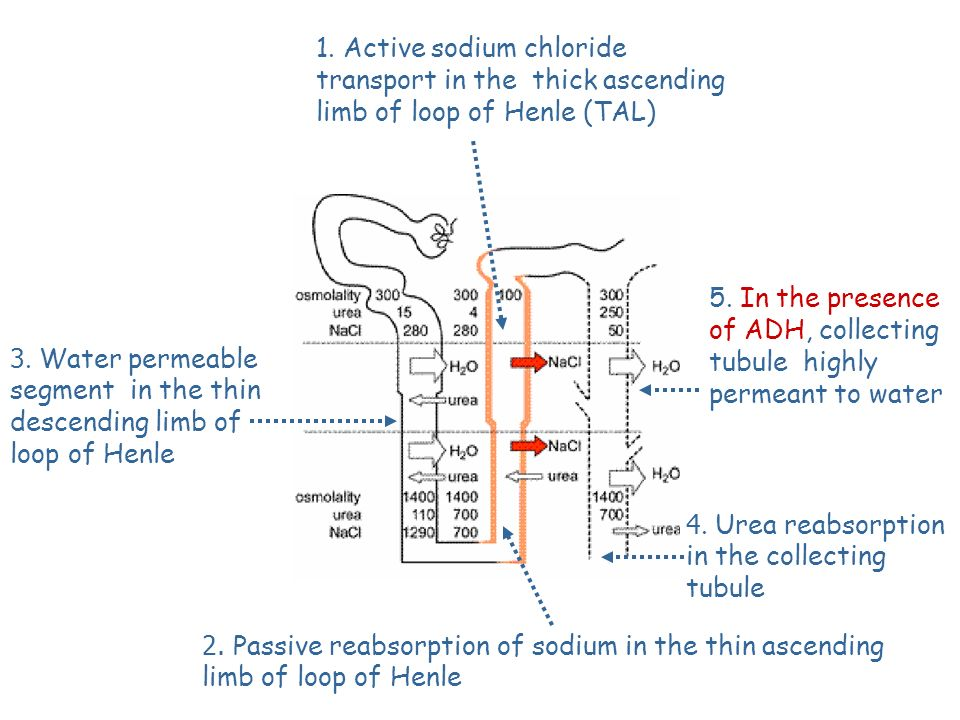 1. Active sodium chloride transport in the thick ascending limb of loop of Henle (TΑL)