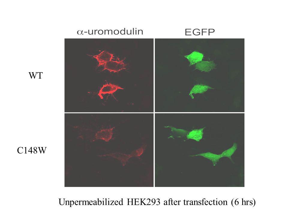 WT C148W Unpermeabilized HEK293 after transfection (6 hrs)