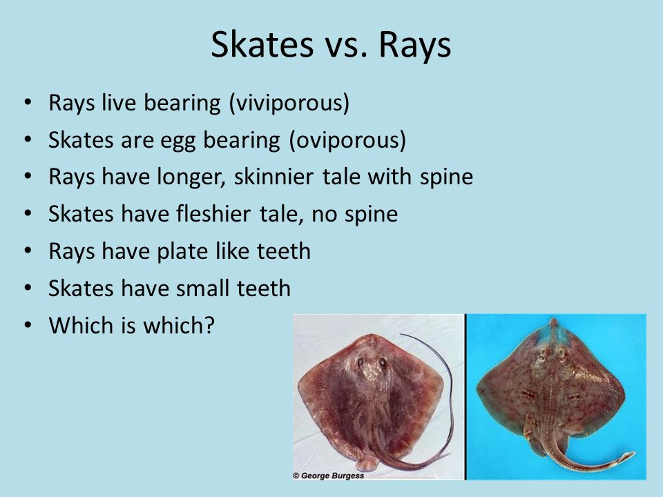 Part 1 Jawless Amp Cartilaginous Fishes Ppt Video Online