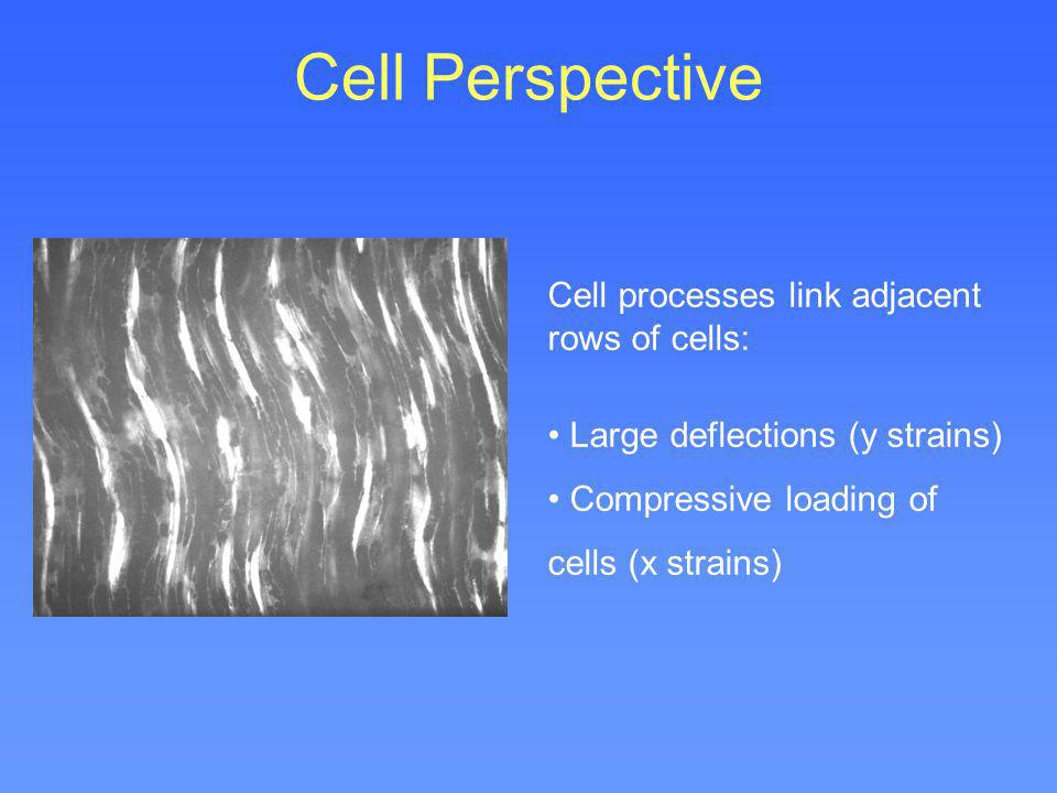 Cell Perspective Cell processes link adjacent rows of cells: