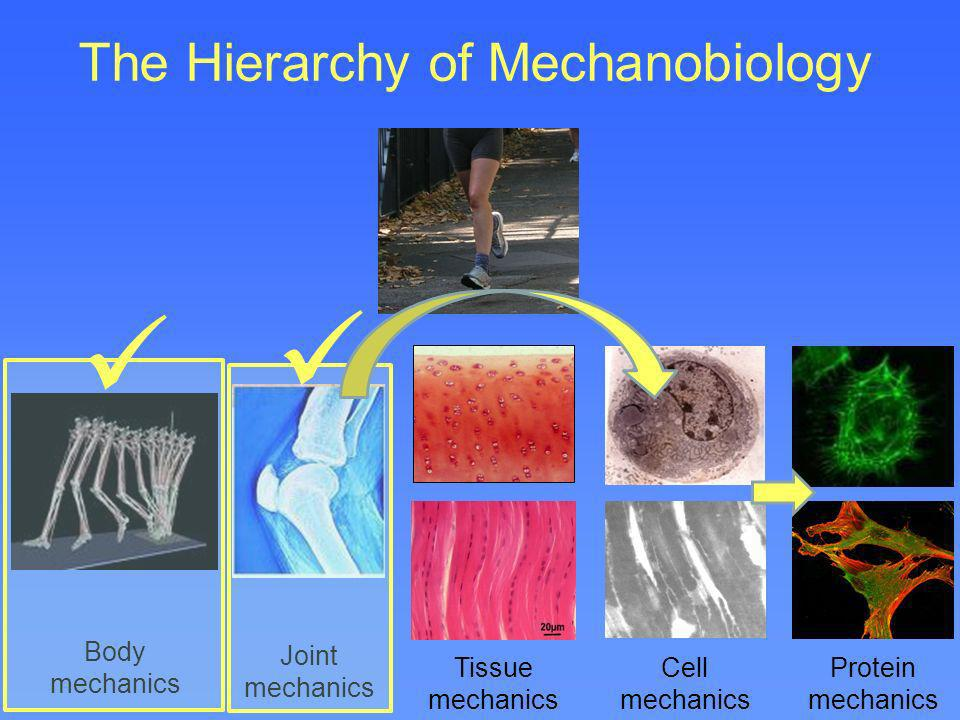The Hierarchy of Mechanobiology