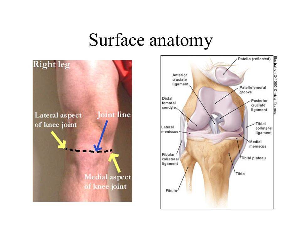 Surface anatomy Hollows at side of patella ligament in flexed knee lie over joint line.