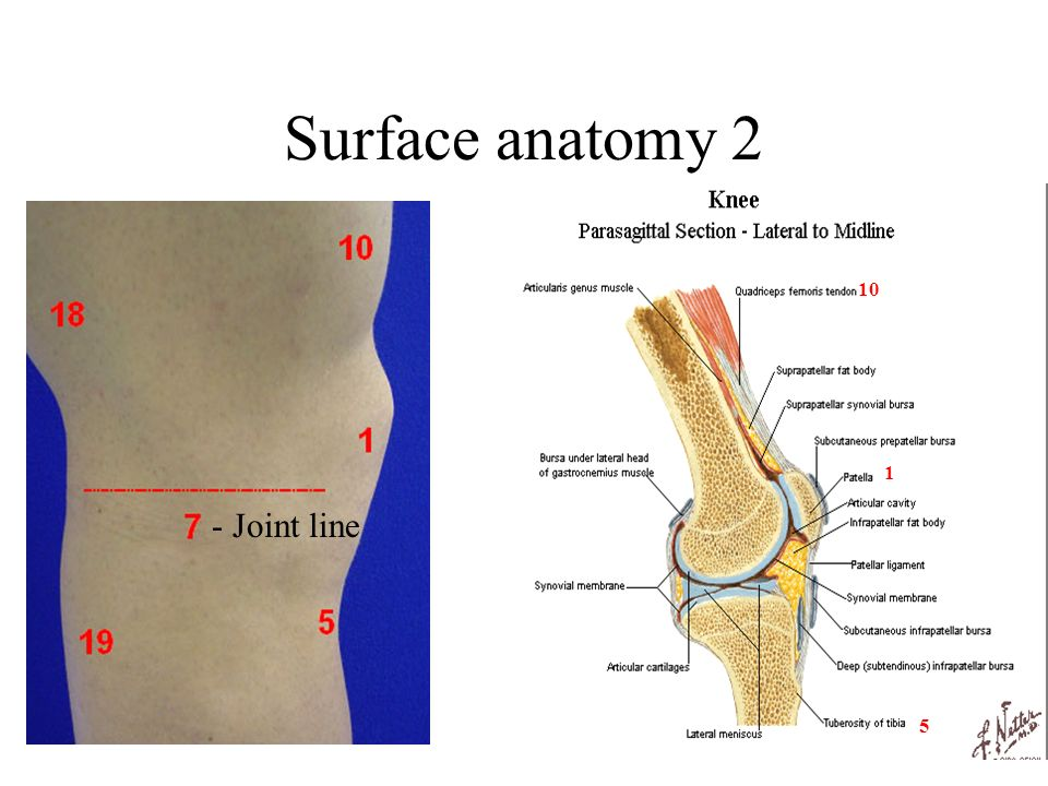 Surface anatomy 2 - Joint line 10 1 5