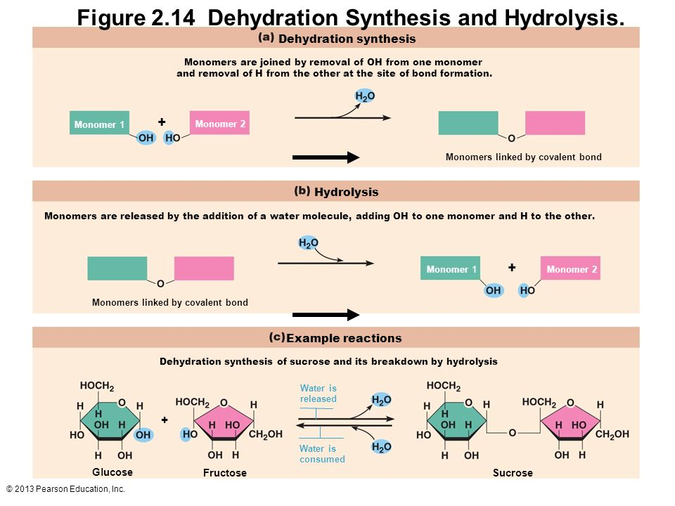 Dehydration Synthesis Example Marieb Chapter 2 Part ...