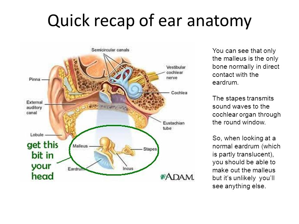 Quick recap of ear anatomy