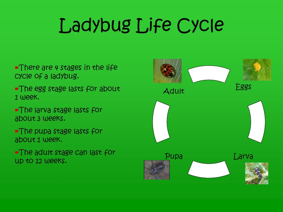 Ladybugs By Shelli Carlson - ppt video online download - photo#17