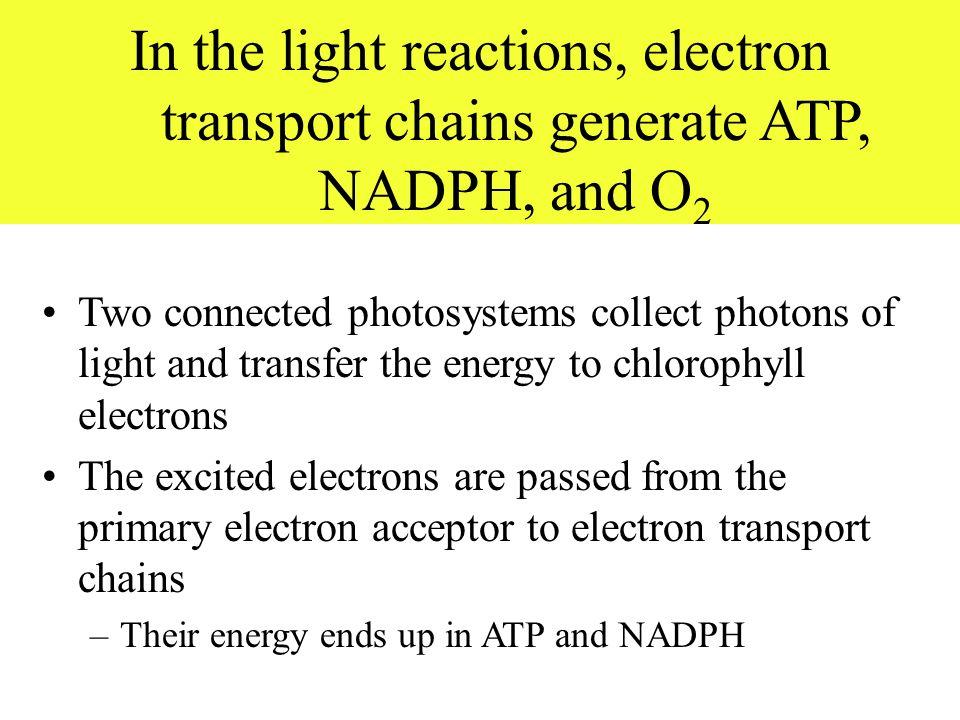 understanding how the electron transport works Electron transport chain step by step explanation: here, you'll see the electron transport chain step by step explanation in an easy to understand jargon.