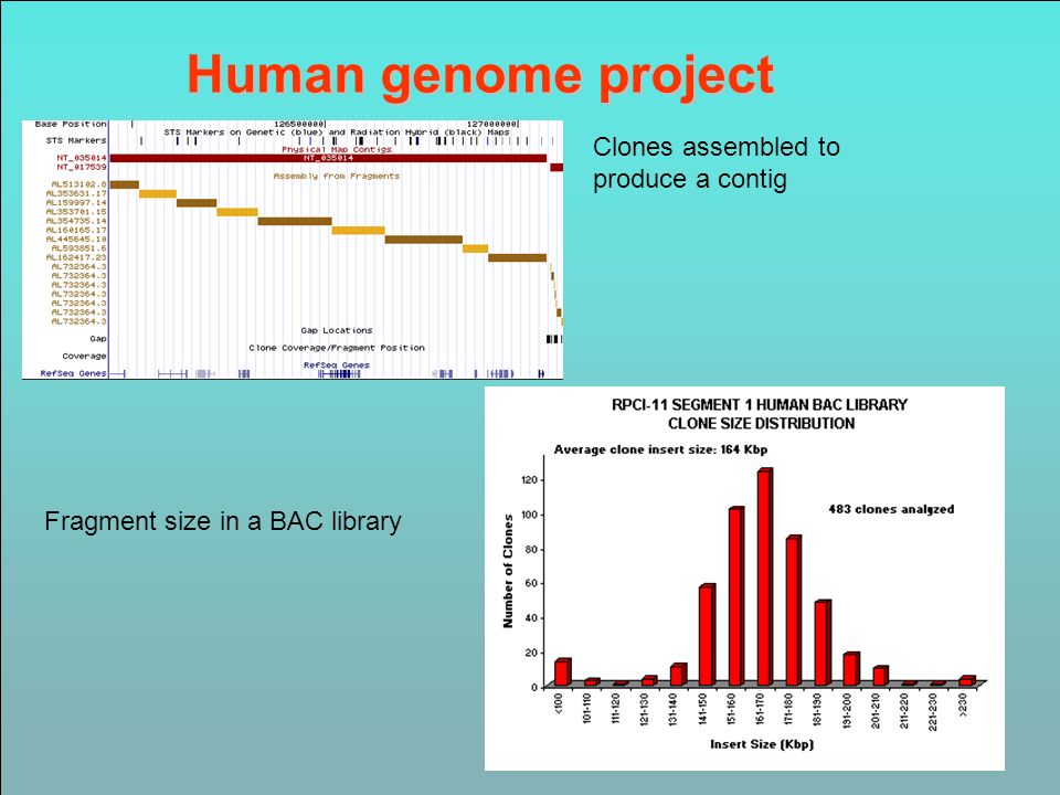 Human genome project Clones assembled to produce a contig