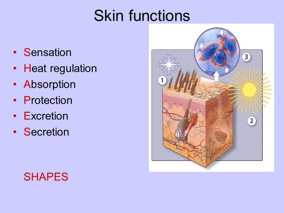 skin structure and function pdf