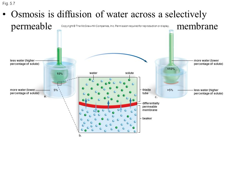 osmosis and selectively permeable membrane Osmosis is a special kind of diffusion where water moves through a selectively permeable membrane (a membrane that only allows certain molecules to diffuse though) diffusion or osmosis occurs until dynamic equilibrium has been reached.