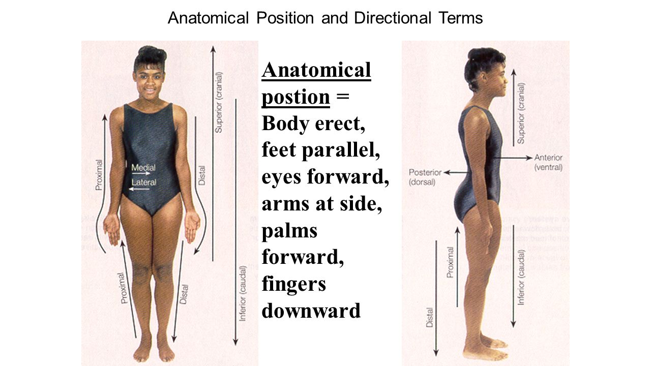 Nice Anatomy Position Terms Ornament - Physiology Of Human Body ...