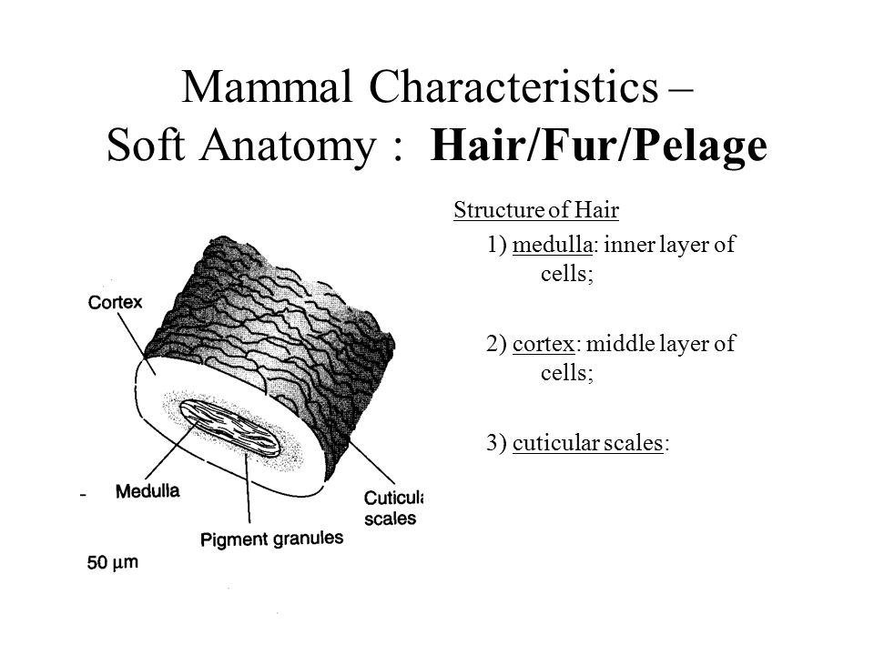 The Characteristics Types And Anatomy Of Mammals Custom Paper Help