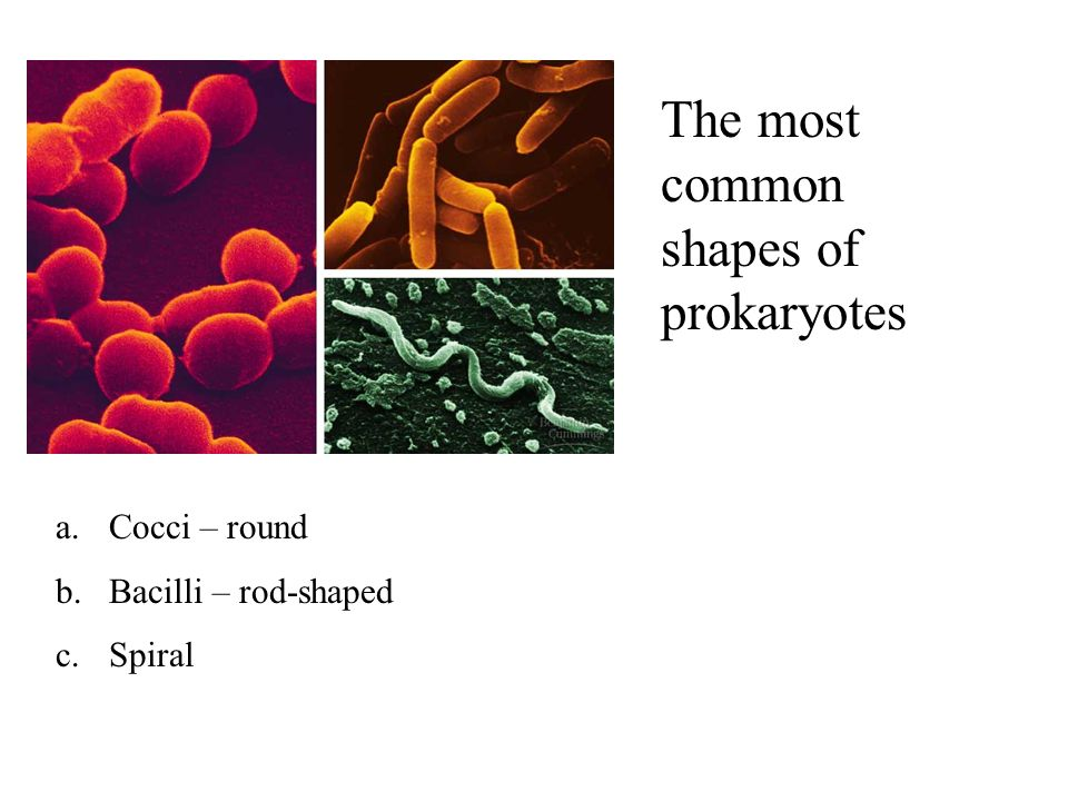The most common shapes of prokaryotes