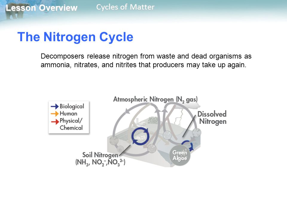 The Nitrogen Cycle Decomposers release nitrogen from waste and dead organisms as ammonia, nitrates, and nitrites that producers may take up again.