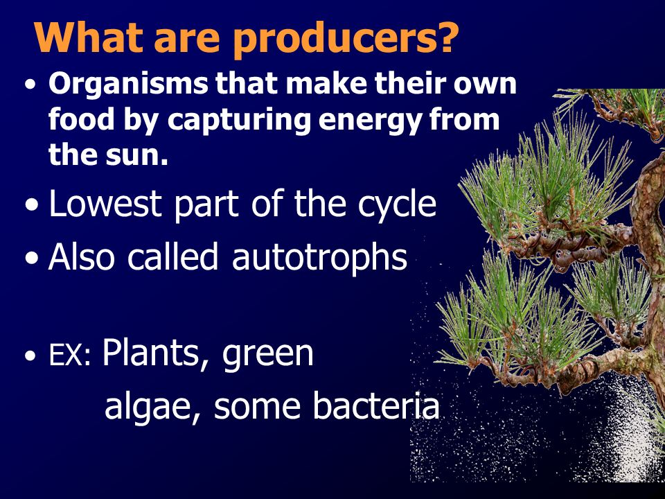 What are producers Lowest part of the cycle Also called autotrophs
