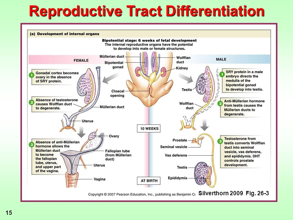 Reproductive Tract Differentiation