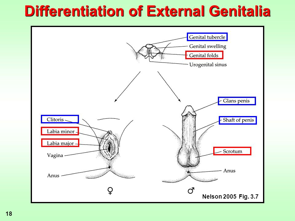 Differentiation of External Genitalia