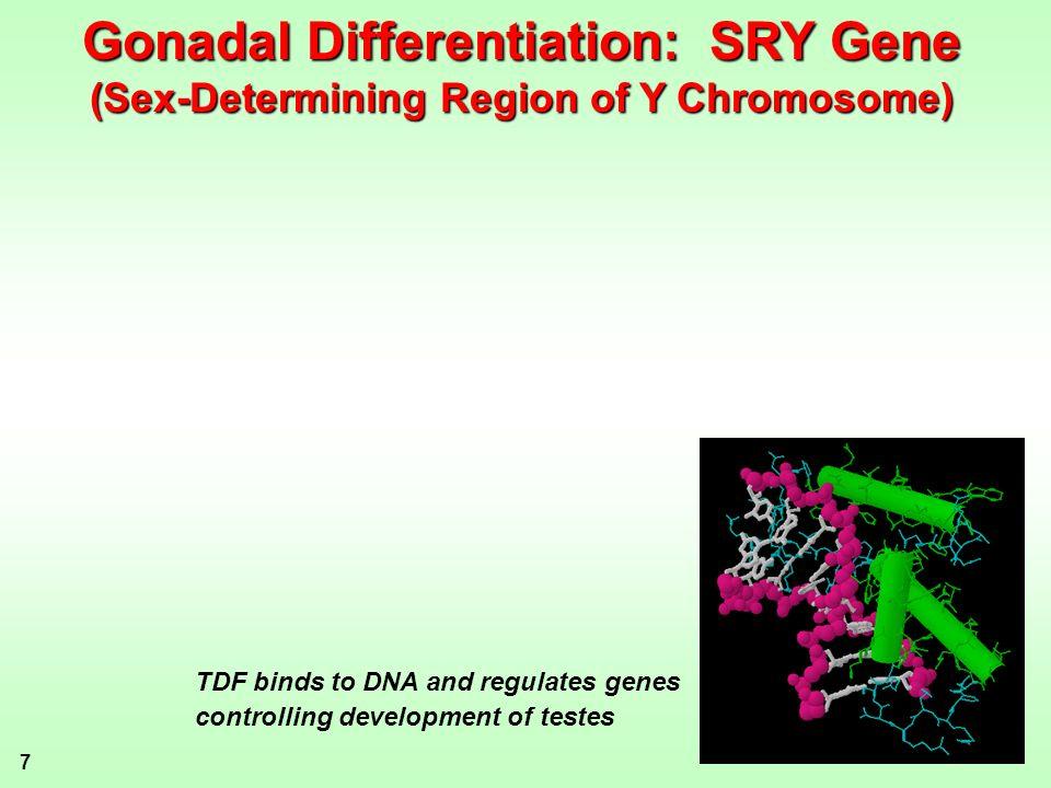 Gonadal Differentiation: SRY Gene
