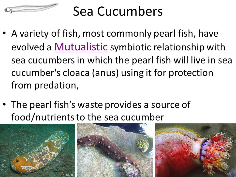 pearl fish and sea cucumber relationship poems