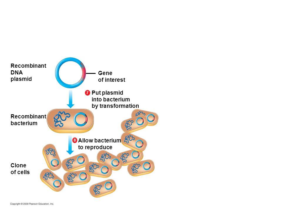 Recombinant DNA plasmid Gene of interest Put plasmid into bacterium