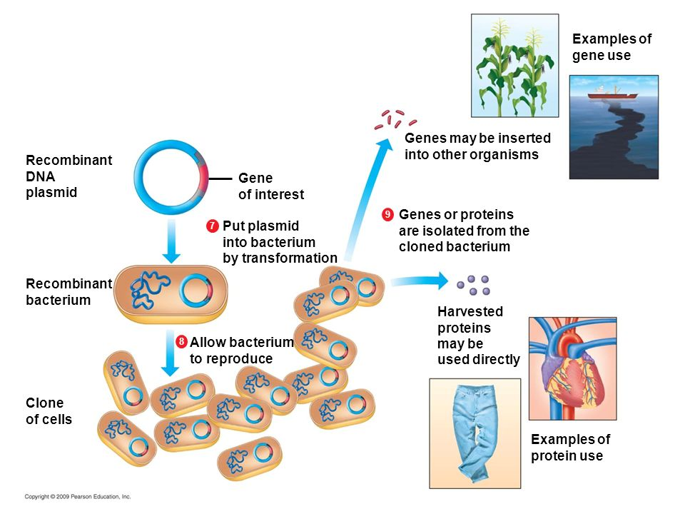 Examples of gene use Genes may be inserted into other organisms