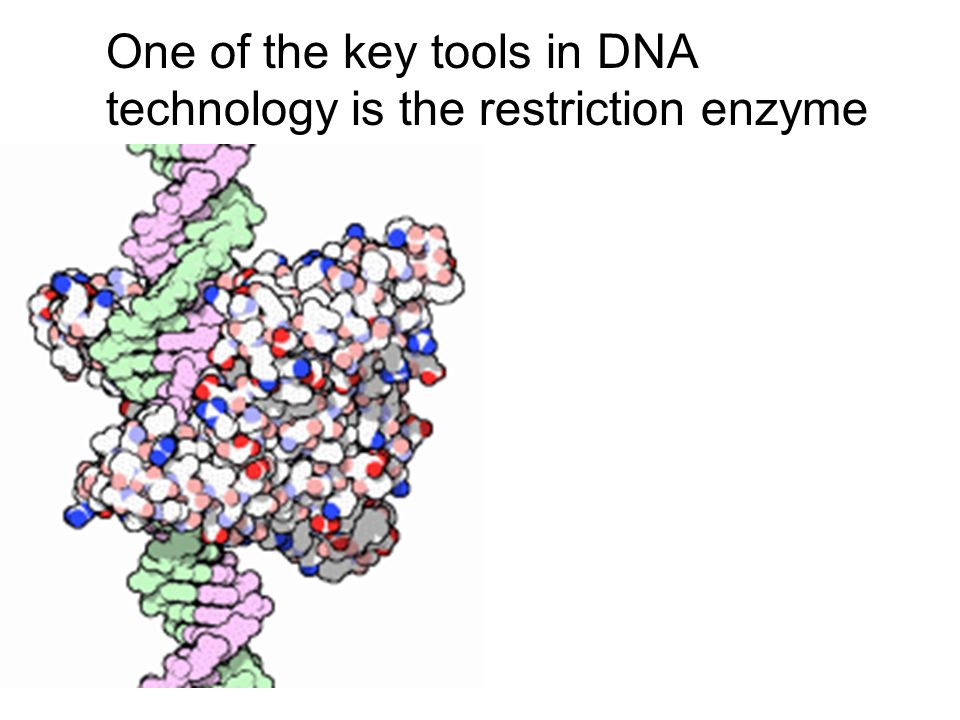 One of the key tools in DNA technology is the restriction enzyme