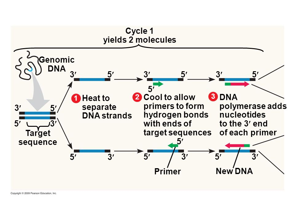 Cycle 1 yields 2 molecules Genomic DNA 3 5 3 5 3 5 5 DNA