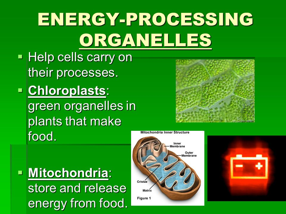 Energy Processing Organelles on Mitochondria Cell Structure