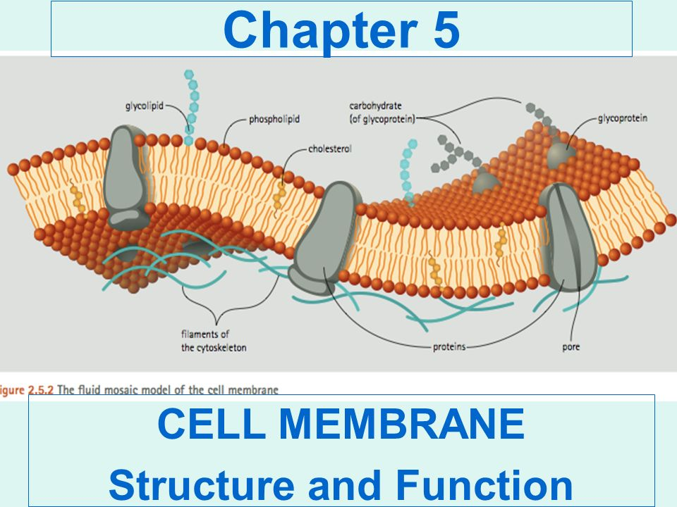 cell structure and memebrane