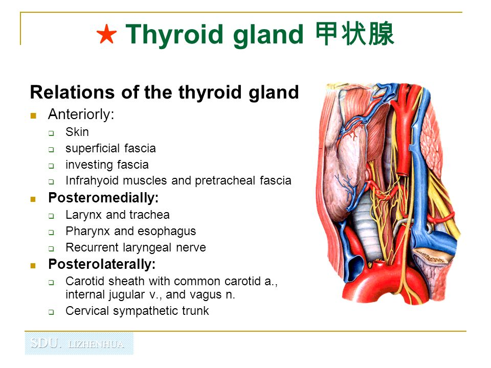 Thyroid Anatomy Muscles. Veins and venous drainage of the prostate ...