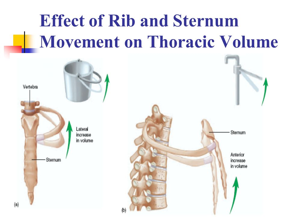 Effect of Rib and Sternum Movement on Thoracic Volume