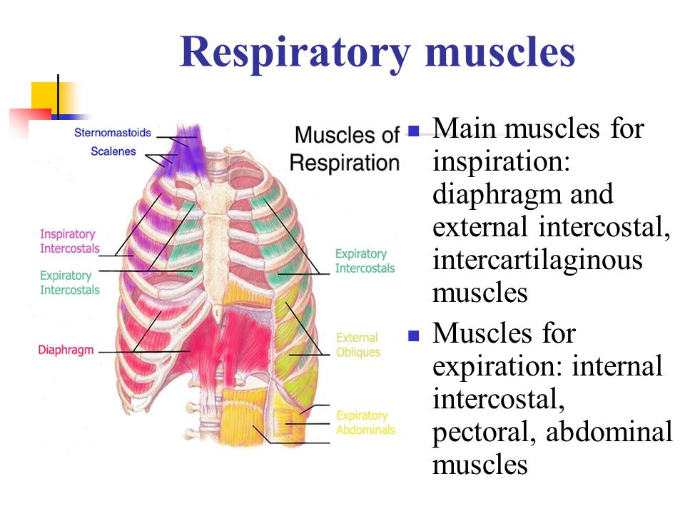 Respiratory muscles Main muscles for inspiration: diaphragm and external intercostal, intercartilaginous muscles.