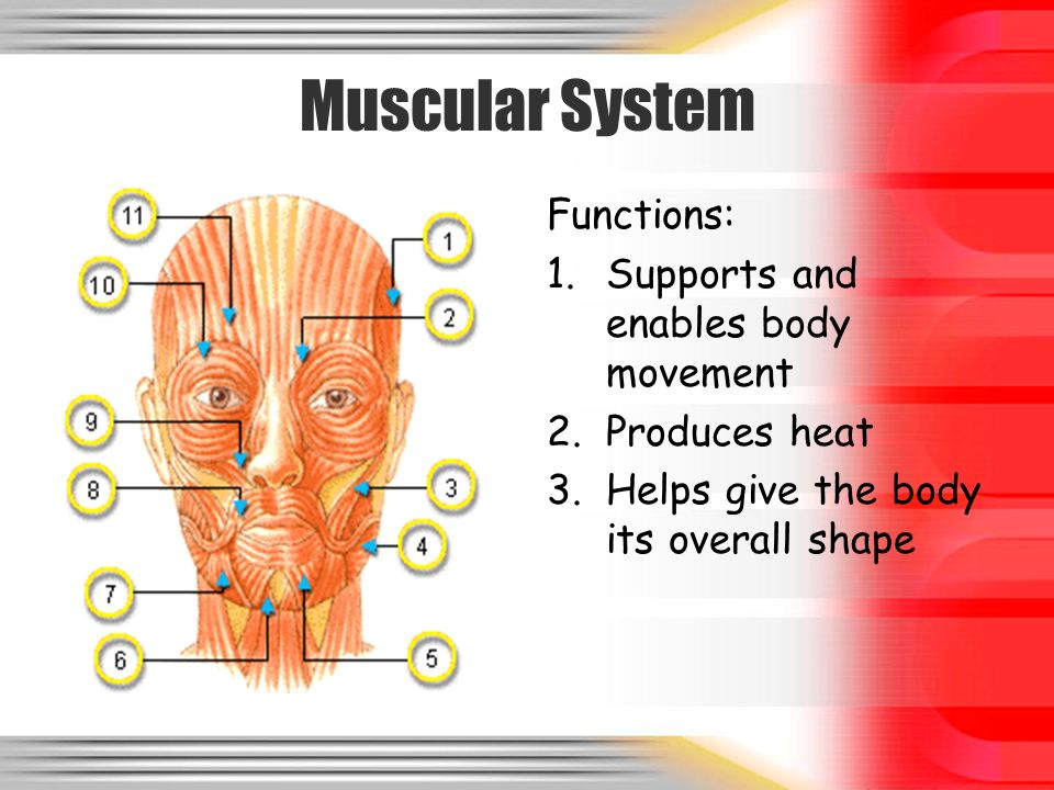 the muscular system and its functions Anatomy and physiology of muscular system human anatomy human body muscular system human skeleton muscles of the body muscle anatomy human muscles anatomy of the human body the muscular system human body for kids muscular diseases human body muscles muscular system functions diagram of the human body muscular system.