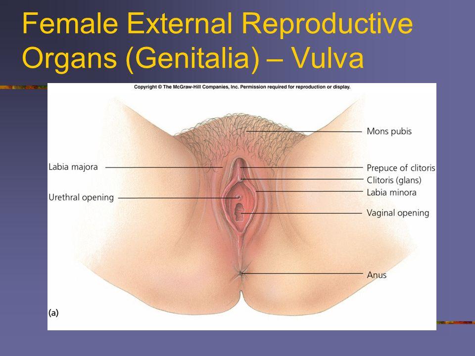 Female External Reproductive Organs (Genitalia) – Vulva