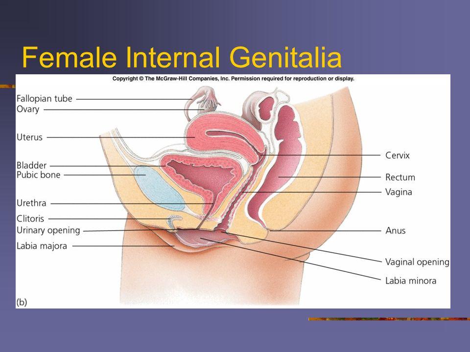 Female Internal Genitalia