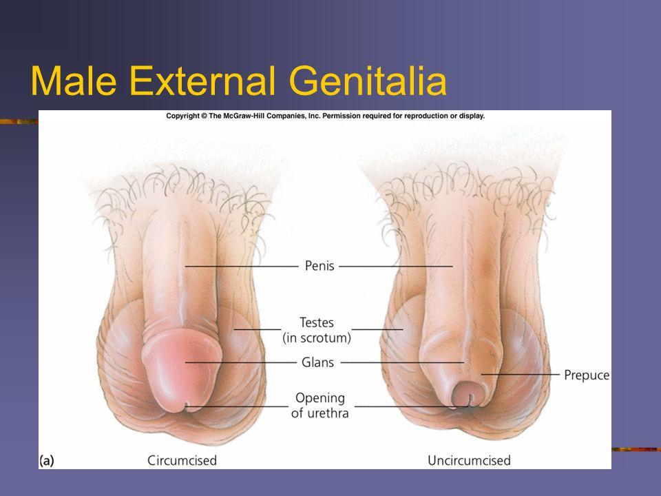 Male External Anatomy Diagram - Wiring Diagram Database •