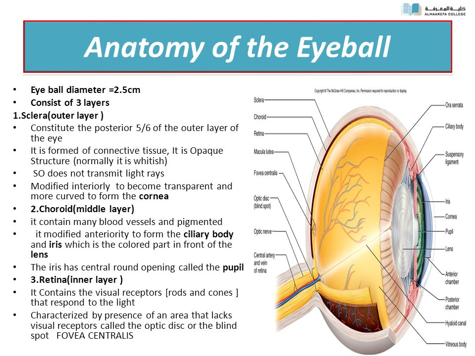 Eyeball parts anatomy