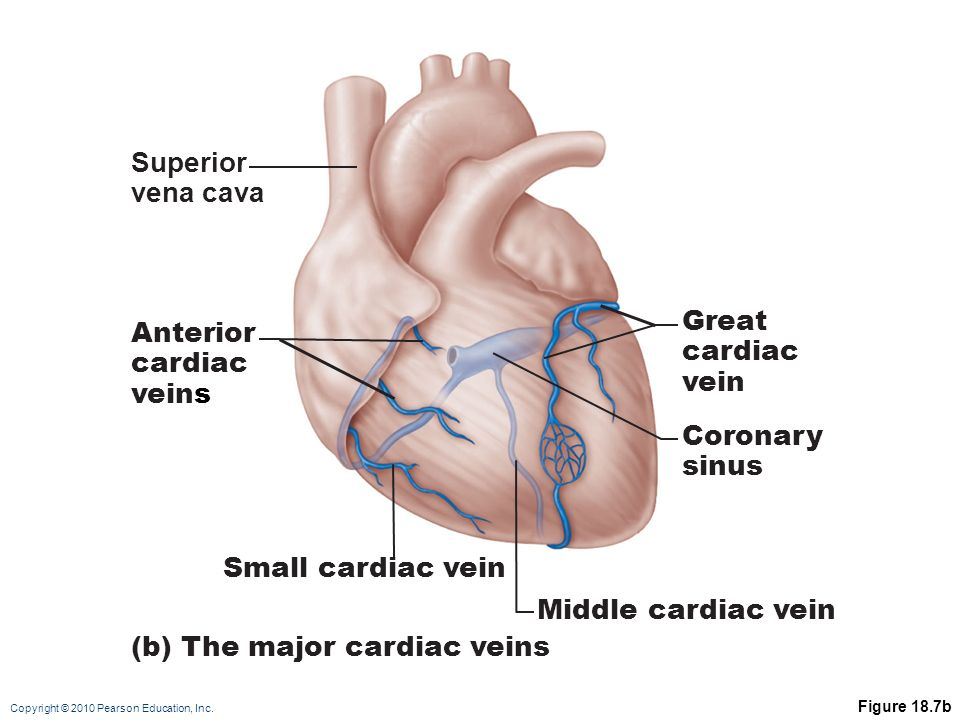 Schön Coronary Veins Anatomy Bilder - Menschliche Anatomie Bilder ...