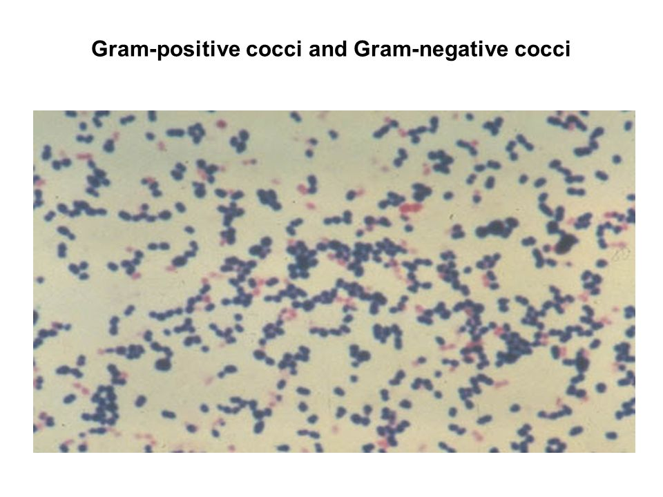 gram positive pathogenic cocci essay Gram positive cocci: streptococcus pneumoniae most common cause of community acquired pneumonia in adults typical pneumonia: gram positive rods: bacillus anthracis.
