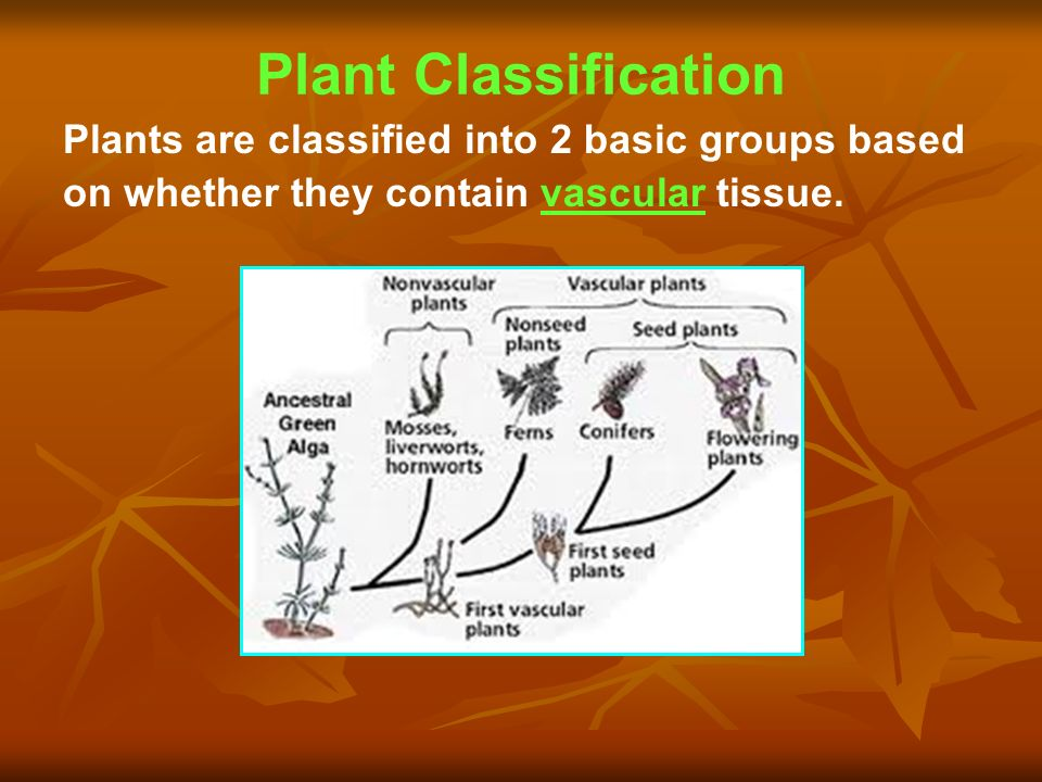 Plant Classification Plants are classified into 2 basic groups based