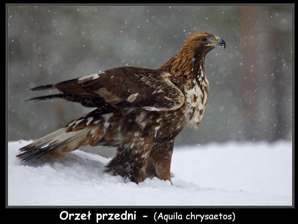 Orzeł przedni - (Aquila chrysaetos)