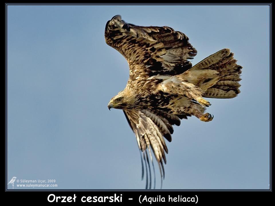 Orzeł cesarski - (Aquila heliaca)