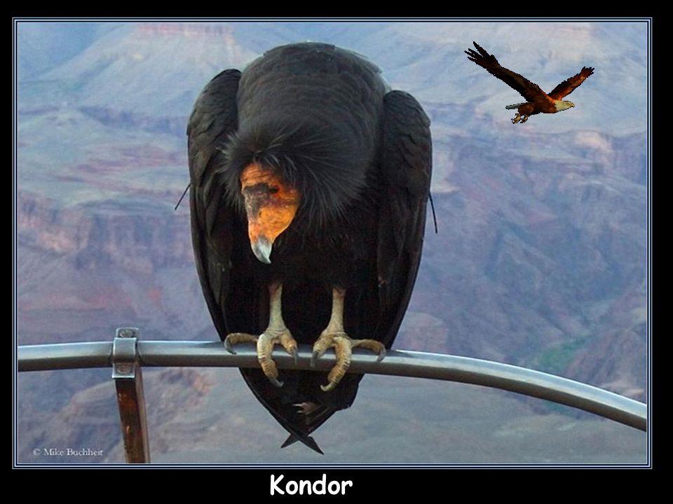 Kondor (kondorowate, jastrzębiowe) - padlinożerne