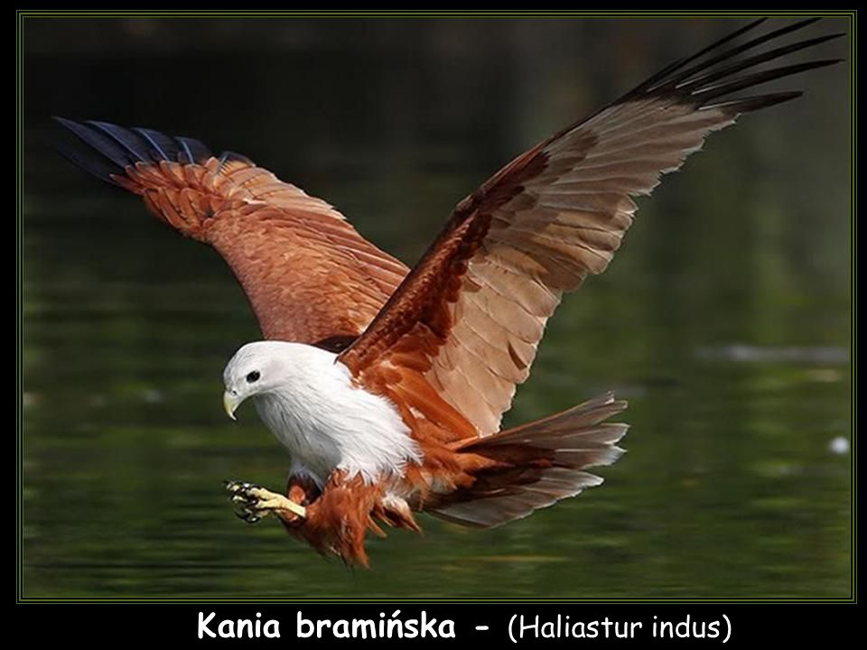 Kania bramińska - (Haliastur indus)