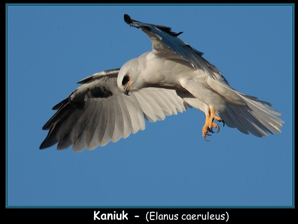 Kaniuk - (Elanus caeruleus)