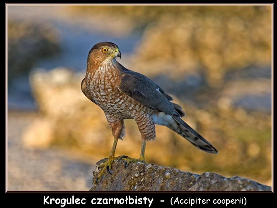 Krogulec czarnołbisty - (Accipiter cooperii)