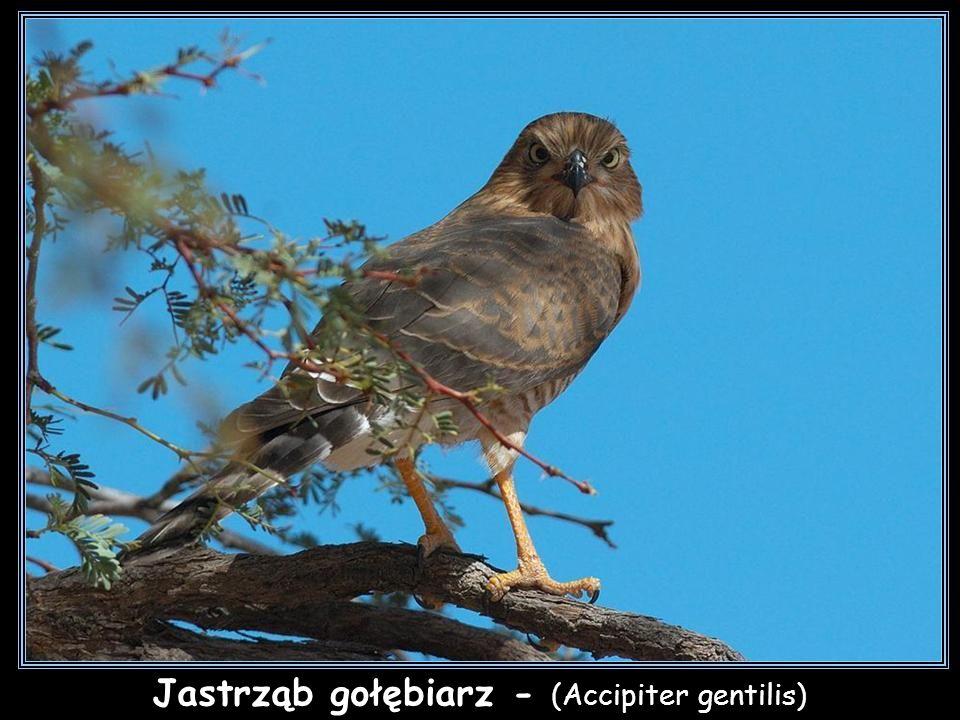 Jastrząb gołębiarz - (Accipiter gentilis)